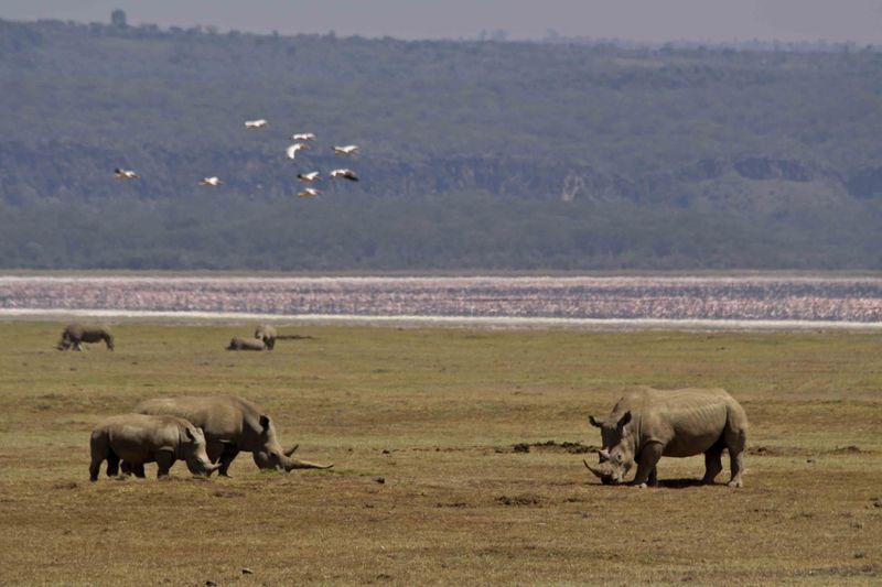 Lake Nakuru, Kenya White Rhinos