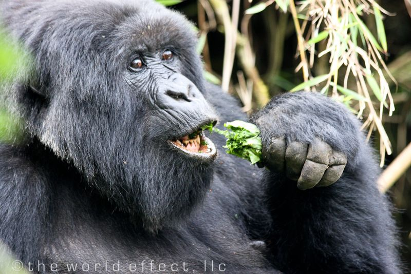 female gorilla in Volcanoes National Park, Rwanda