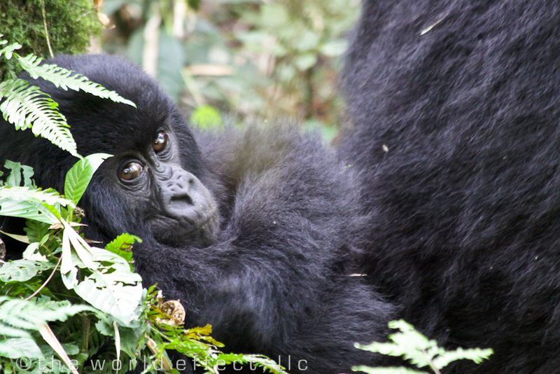 baby mountain gorilla in Volcanoes National Park, Rwanda