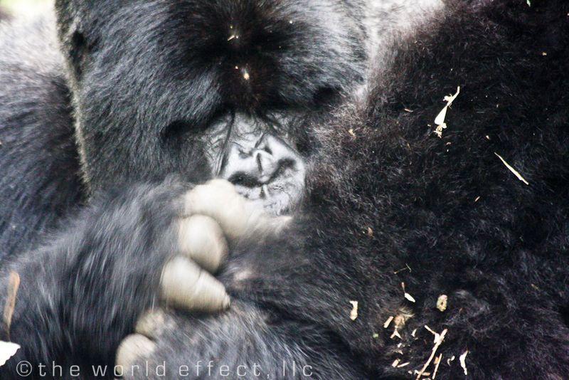 Silver Back Mountaion Gorilla grooming his kids, Rwanda