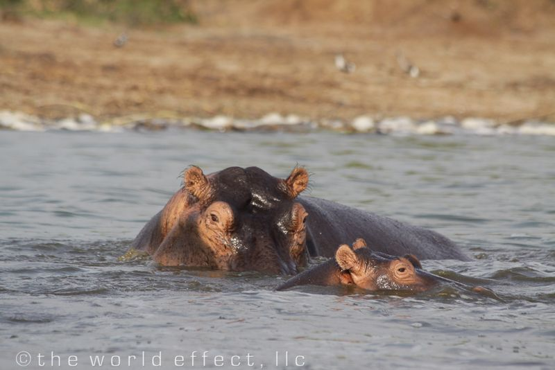 Hippos in Queen Elizabeth National Park, Uganda