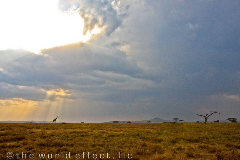 Giraffe in sun beams. Serengeti National Park, Tanzania