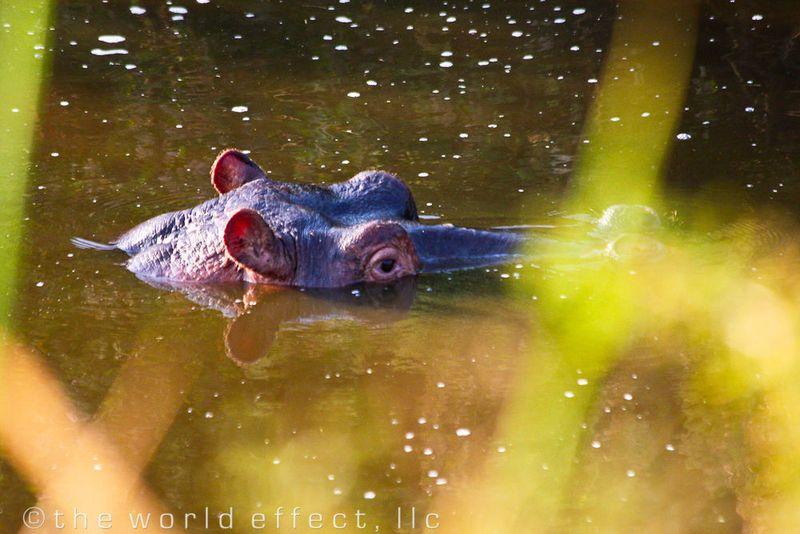 I see you! Hippo in Serengeti