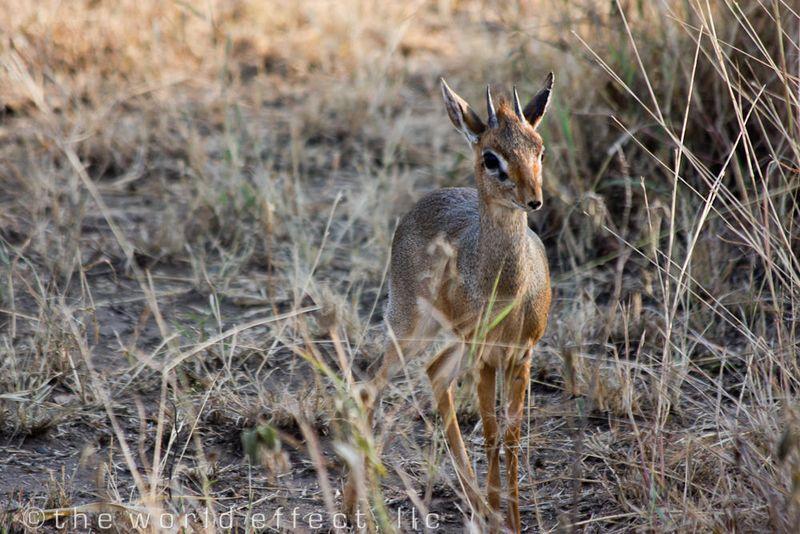 Dik Dik in Serengeti National Park, Tanzania