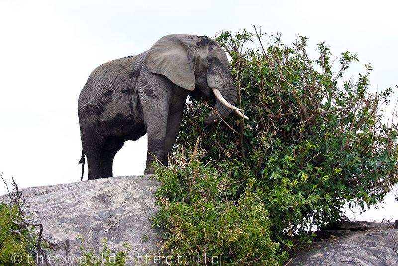 Elephant on a rock. Serengeti National Park, Tanzania