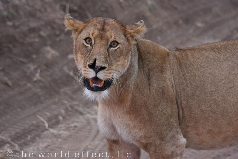 Prize Fighter lioness in Serengeti National Park, Tanzania