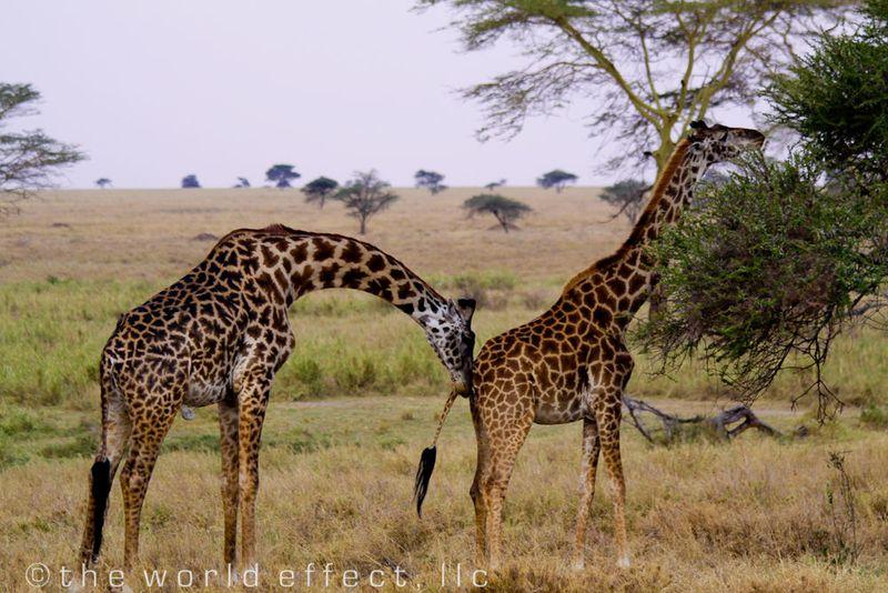 Giraffes. Serengeti National Park, Tanzania