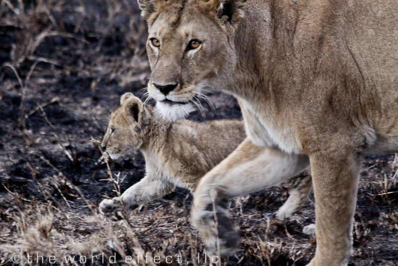 Lioness and cub. Serengeti National Park, Tanzania