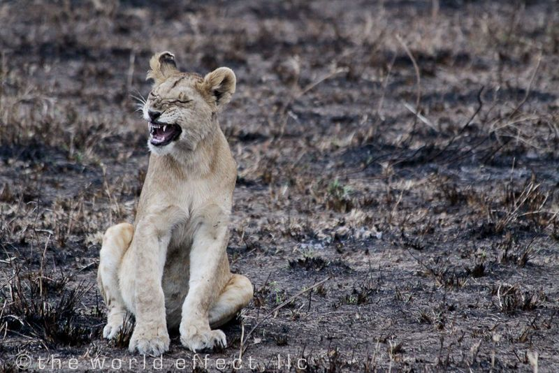 Youth lion yawn. Serengeti National Park, Tanzania