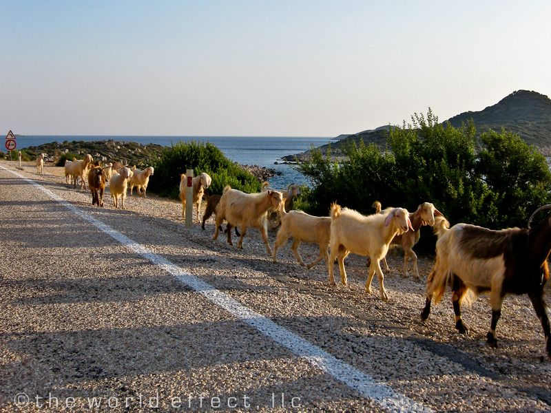 Goats on the road near Fethiye