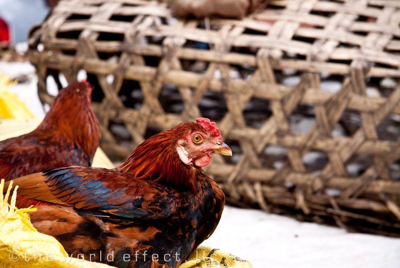 Roosters. Kathmandu, Nepal