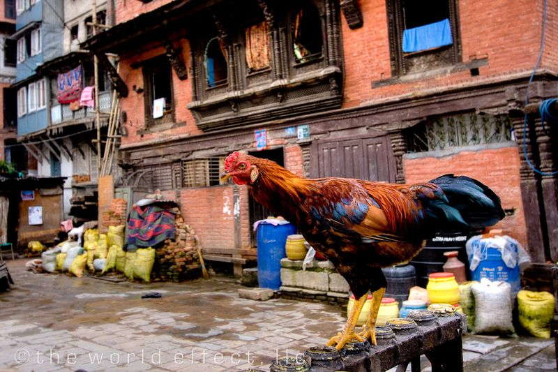 Rooster. Kathmandu, Nepal