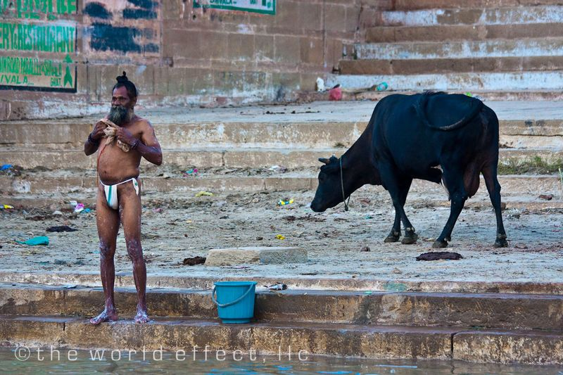 Man bathing and a sacred cow. Varanasi, India