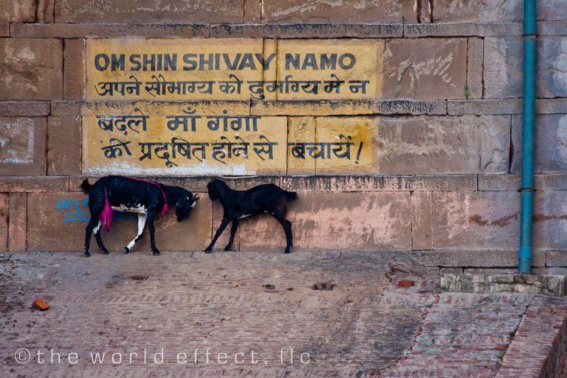 goats. Varanasi, India
