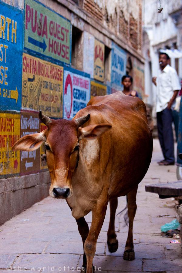 Holy Cow. Varanasi, India