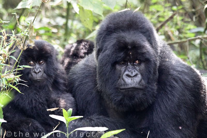 Silver Back Mountain Gorilla and one of his kids
