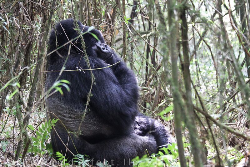 Silver Back Mountain Gorilla, Rwanda