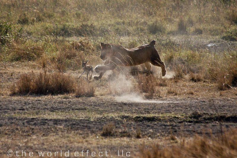 The hunter and the hunted. Serengeti National Park, Tanzania
