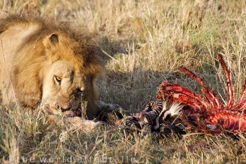 Lion eating a Zebra. Serengeti National Park, Tanzania