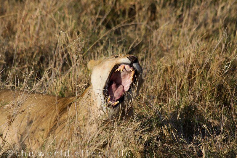Lioness yawning and waiting to eat. Serengeti National Park