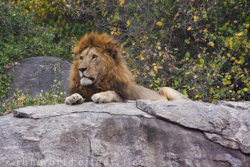 The King. Lion in Serengeti National Park, Tanzania