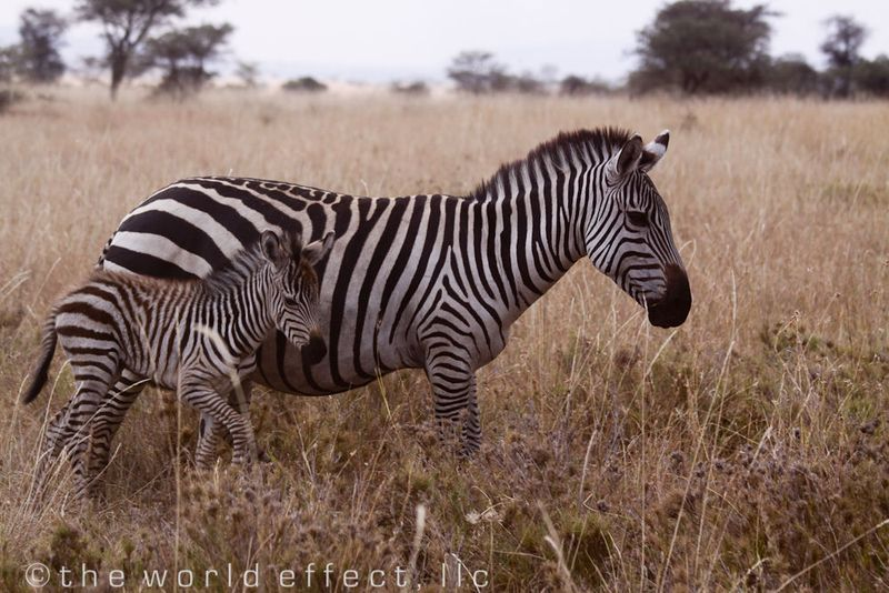 Baby and Mom Zebra. Serengeti National Park, Tanzania