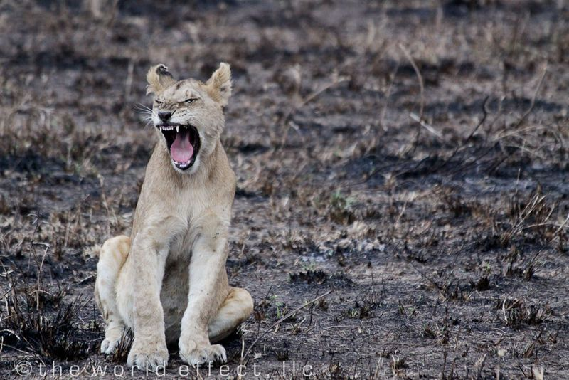 Youth Lion Yawn