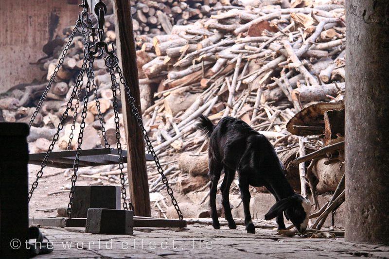Goat. Varanasi, India