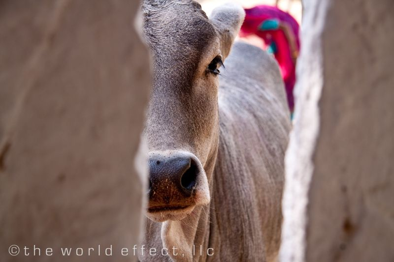 Baby cow in Rajasthan, India